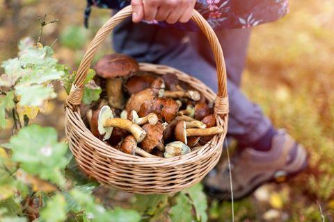 come raccogliere funghi