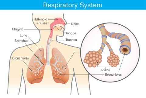 struttura apparato respiratorio
