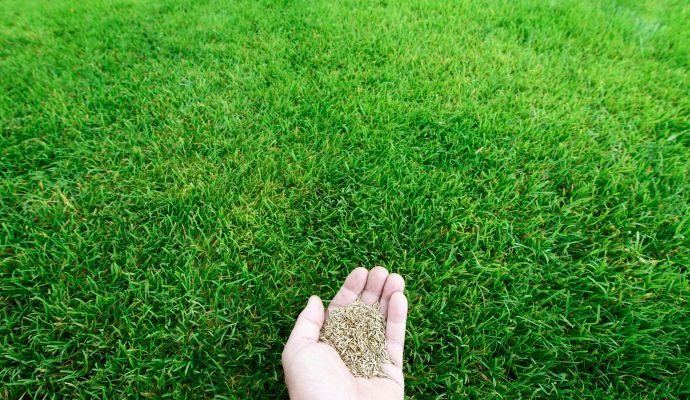 semina prato erboso